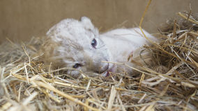 Baby lion in zoo Royalty Free Stock Photos