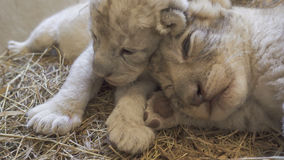 Baby lion in zoo Stock Image
