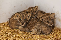 Baby lionesses 1 Royalty Free Stock Photo