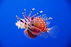 Baby lionfish. On blue background Stock Photo