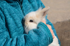 Baby Lionhead Rabbit. Four week old Baby Lionhead Rabbit (Oryctolagus cuniculus) being held in the arms stock photography
