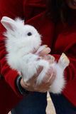 Baby Lionhead Rabbit. Four week old Baby Lionhead Rabbit (Oryctolagus cuniculus) being held in the hands royalty free stock image