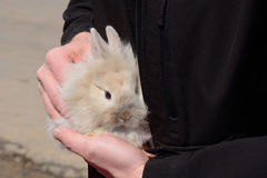 Baby Lionhead Rabbit. Four week old Baby Lionhead Rabbit (Oryctolagus cuniculus) being held in the hands royalty free stock photos