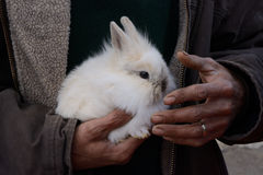 Baby Lionhead Rabbit Royalty Free Stock Images