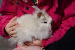Baby Lionhead Rabbit Royalty Free Stock Photo