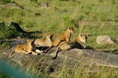 Baby lions Stock Photos