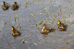 Baby little ducks in a swamp pound water wild nature Royalty Free Stock Photography