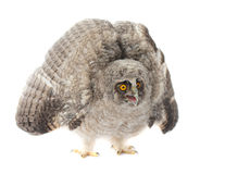 Baby Little Owl. Isolated on white stock photos