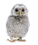 Baby Little Owl - Athene noctua (4 weeks old) royalty free stock images