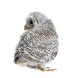 Baby Little Owl in front of a white background Royalty Free Stock Photo