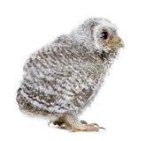 Baby Little Owl in front of a white background Stock Photo