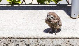 Baby Little Owl Sleeping. Baby Little Owl (Athene noctua) is sleeping on concrete wall Stock Image
