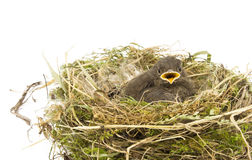 Baby little sparrow. In a nest isolated Stock Photos