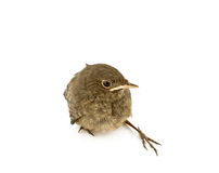 Baby little sparrow Royalty Free Stock Photography