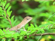 Baby lizard. A young & innocent chameleon looking for food Stock Photography