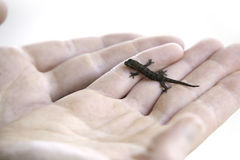 Baby lizard. A young woman holds a baby lizard in her hands Stock Images