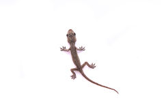 Baby lizard royalty free stock photo