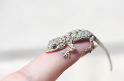 Baby lizard. On a finger, closeup royalty free stock image