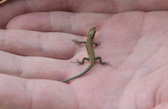 Baby lizard Royalty Free Stock Photos
