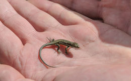 Baby lizard Stock Photo
