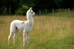 Baby llama Stock Photo