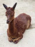 Baby Llama in Andes Mountains,  Peru Stock Images