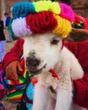 Baby llama. Cusco Peru with their colors and adorable animals Royalty Free Stock Image
