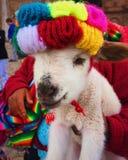 Baby llama Royalty Free Stock Image