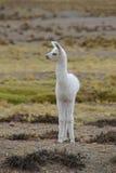 Baby Llama Stock Images