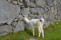 Baby Llama In Machu Picchu Ruins Royalty Free Stock Image