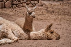 Baby llama lying beside its resting mother royalty free stock images