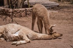 Baby llama nuzzling its mother as she sleeps royalty free stock image