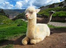 Baby llama in Peru. Baby llama sitting in Peru royalty free stock photos