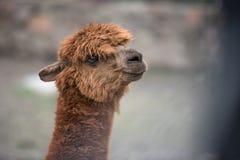 Baby llama portrait Stock Image