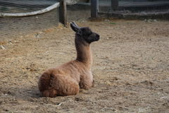 A baby llama Stock Photo