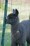 Baby Llama only a week old Royalty Free Stock Photography