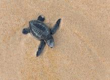 Baby Loggerhead sea turtle. Close-up of baby Loggerhead sea turtle Royalty Free Stock Photo