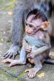 Baby of Long-tailed or Crab-eating macaque, full length, Bali Island, Indonesia Stock Images