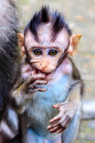 Baby of Long-tailed or Crab-eating macaque, half length, Bali Island, Indonesia Royalty Free Stock Images