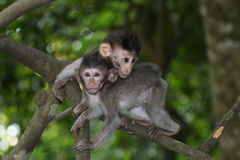 Baby Long Tailed Macaques Royalty Free Stock Photo
