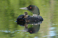 Baby Common Loon (Gavia immer) riding on mothers b stock image