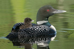 Baby Common Loon (Gavia immer) riding on mothers b stock photos