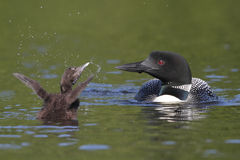 Baby Loon Showing Off For Mom Stock Images
