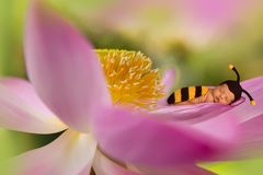 Baby in lotus flower. Baby in bee outfit sleeping in a giant lotus flower stock image