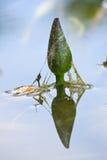 Baby lotus reflection on lake Royalty Free Stock Photos