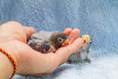Baby lovebird on guy's hand on cloth background Royalty Free Stock Images