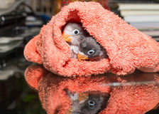 Baby lovebirds in cloth nest on glass table with reflection Stock Photos