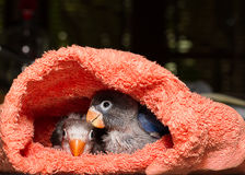 Baby lovebirds in cloth nest on table. In house Stock Images
