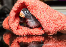 Baby lovebirds in cloth nest on table  in house Royalty Free Stock Photography