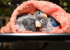 Baby lovebirds in cloth nest on table  in house. Baby lovebirds sitting in cloth nest on table  in house Stock Photos